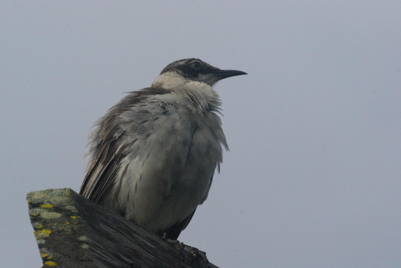Galápagos Mockingbird ©2012 Ben Tavener