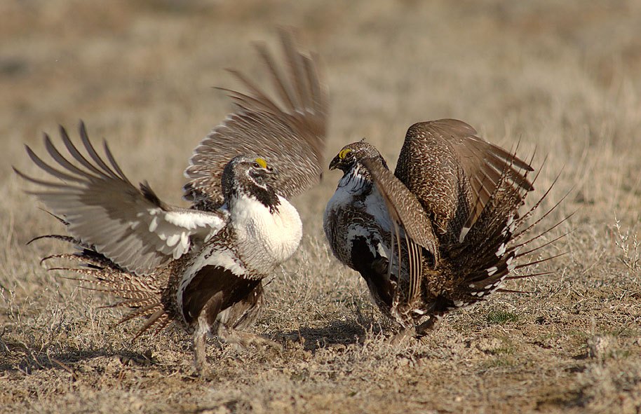 Sage Grouse Lek © 2006 BLM Wyoming